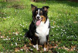 race chien berger australien