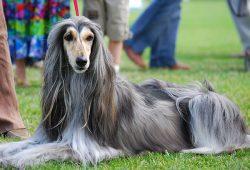 Arabian hound